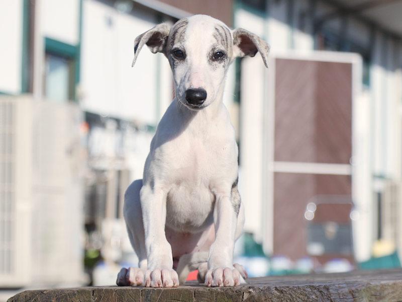 ウィペット子犬販売、女の子(牝、Female)、ホワイト&ブリンドル、2019年9月11日産まれ、千葉県ブリーダー、おすわり、ID11709
