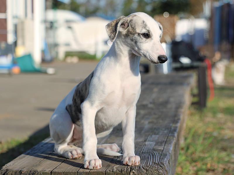 ウィペット子犬販売、女の子(牝、Female)、ホワイト&ブリンドル、2019年9月11日産まれ、千葉県ブリーダー、おすわり、右側面、ID11710