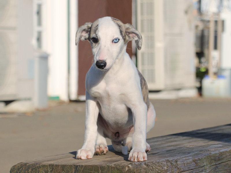 ウィペット子犬販売、女の子(牝、Female)、ホワイト&ブリンドル、2019年9月11日産まれ、千葉県ブリーダー、おすわり、ID11710