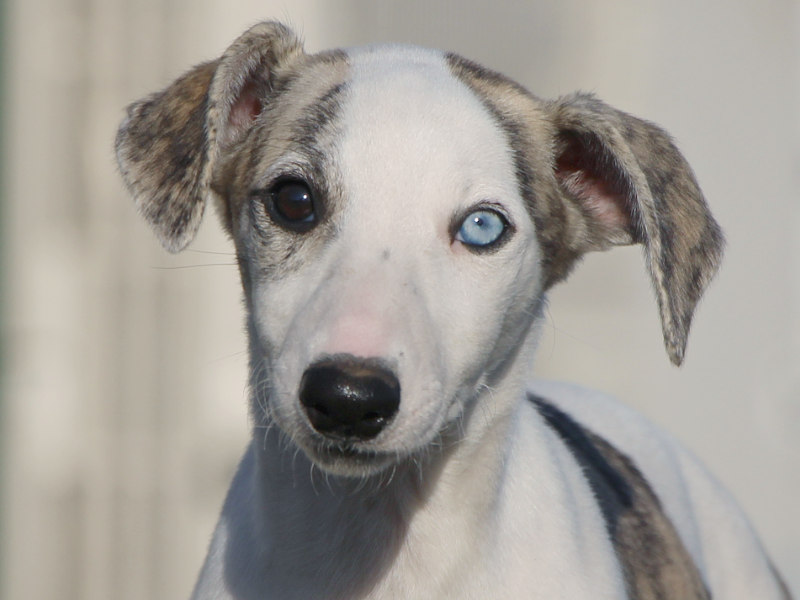 ウィペット子犬販売、女の子(牝、Female)、ホワイト&ブリンドル、2019年9月11日産まれ、千葉県ブリーダー、お顔、ID11710
