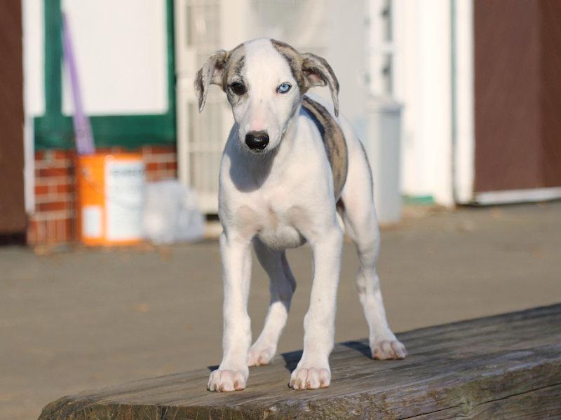 ウィペット子犬販売、女の子(牝、Female)、ホワイト&ブリンドル、2019年9月11日産まれ、千葉県ブリーダー、正面、立ち姿、ID11710