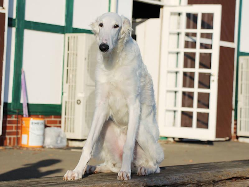 ボルゾイ子犬、女の子、2019年05月26日生まれ、ホワイト、千葉県ブリーダー、おすわり、ID11703