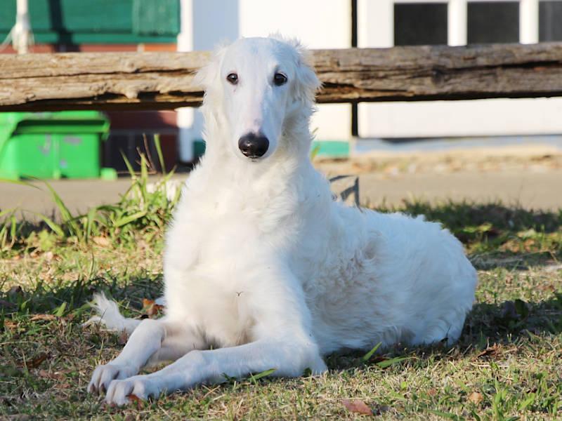 ボルゾイ子犬、女の子、2019年05月26日生まれ、ホワイト、千葉県ブリーダー、フセ、ID11703