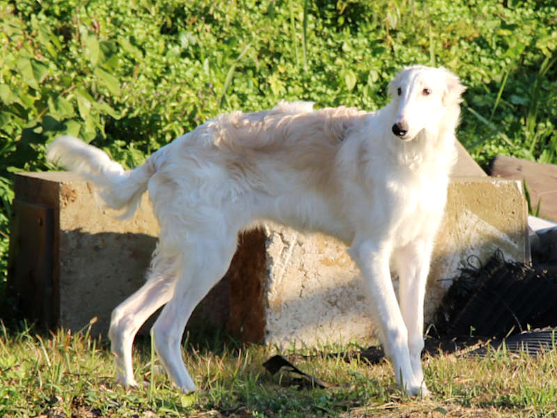 ボルゾイ子犬、男の子、2019年05月26日生まれ、ホワイト&クリーム、千葉県ブリーダー、立ち姿、ID11704