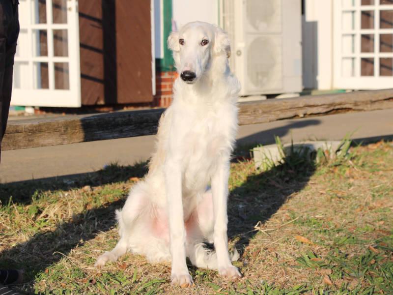 ボルゾイ子犬、男の子、2019年05月26日生まれ、ホワイト&クリーム、千葉県ブリーダー、おすわり、ID11704