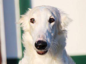 ボルゾイ子犬、男の子、2019年05月26日生まれ、ホワイト&クリーム、千葉県ブリーダー、お顔、ID11704
