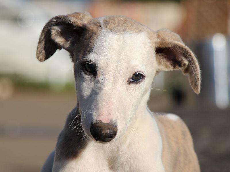 ウィペット子犬販売、男の子(牡、Male)、ホワイト&ブリンドル、2019年9月11日産まれ、千葉県ブリーダー、お顔、ID11705