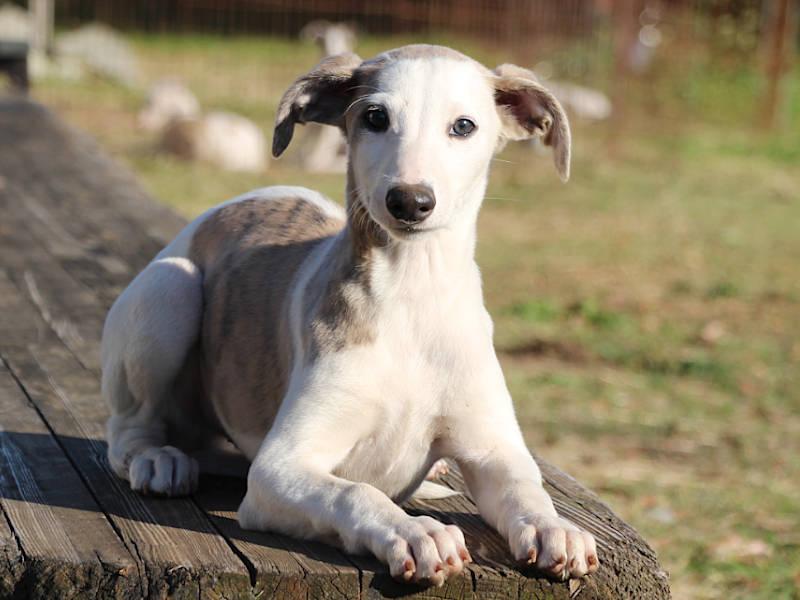 ウィペット子犬販売、男の子(牡、Male)、ホワイト&ブリンドル、2019年9月11日産まれ、千葉県ブリーダー、フセ、ID11705