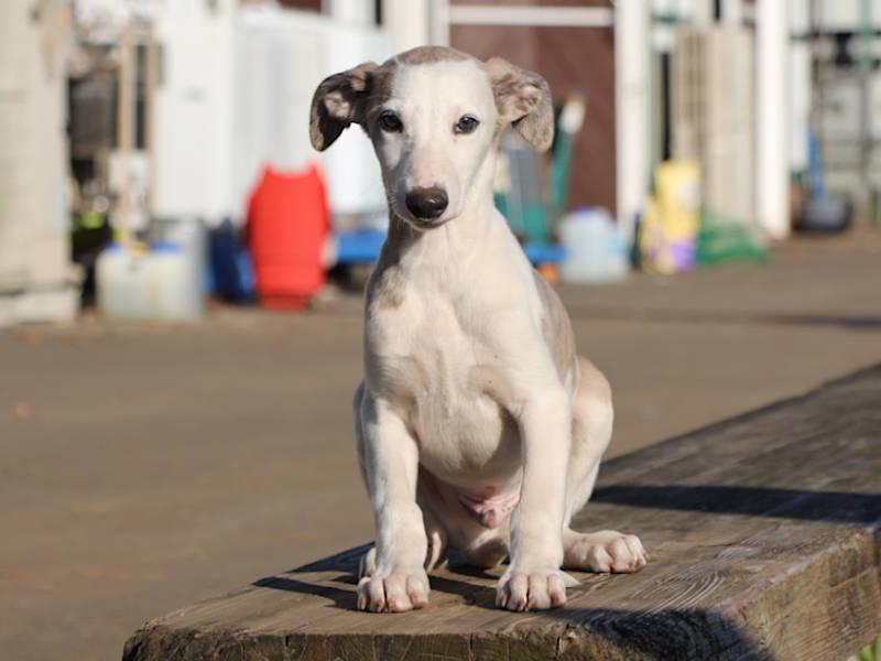 ウィペット子犬販売、男の子(牡、Male)、ホワイト&ブリンドル、2019年9月11日産まれ、千葉県ブリーダー、おすわり、ID11705