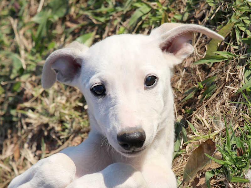 ウィペット子犬販売、男の子(牡、Male)、ホワイト&ホーン、2019年9月11日産まれ、千葉県ブリーダー、お顔、ID11706