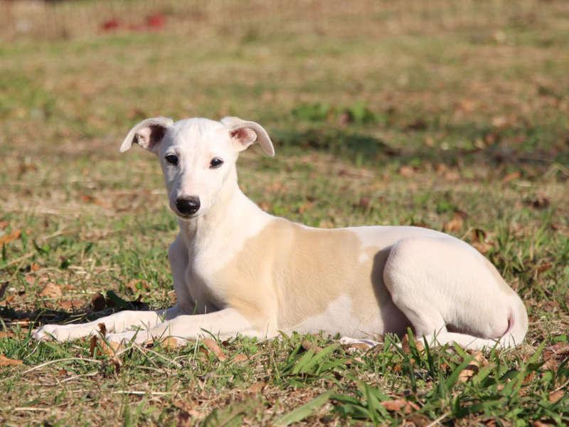 ウィペット子犬販売、男の子(牡、Male)、ホワイト&ホーン、2019年9月11日産まれ、千葉県ブリーダー、フセ、左側面、ID11706