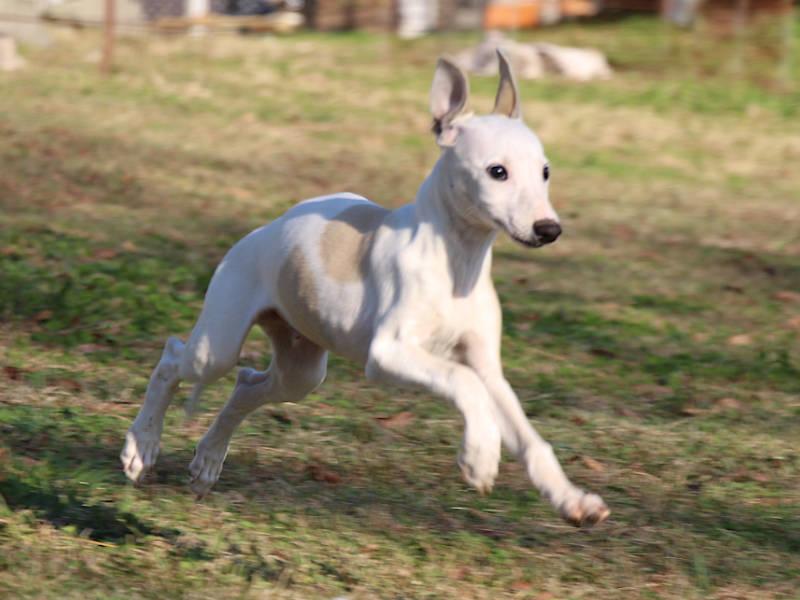 ウィペット子犬販売、男の子(牡、Male)、ホワイト&ホーン、2019年9月11日産まれ、千葉県ブリーダー、ジャンプ、フライングドッグ、ID11706
