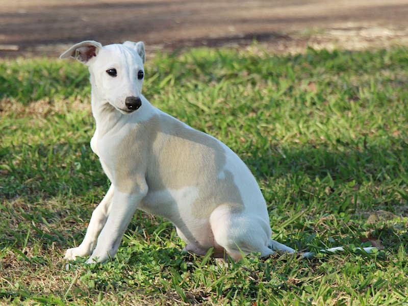 ウィペット子犬販売、男の子(牡、Male)、ホワイト&ホーン、2019年9月11日産まれ、千葉県ブリーダー、おすわり、ID11706