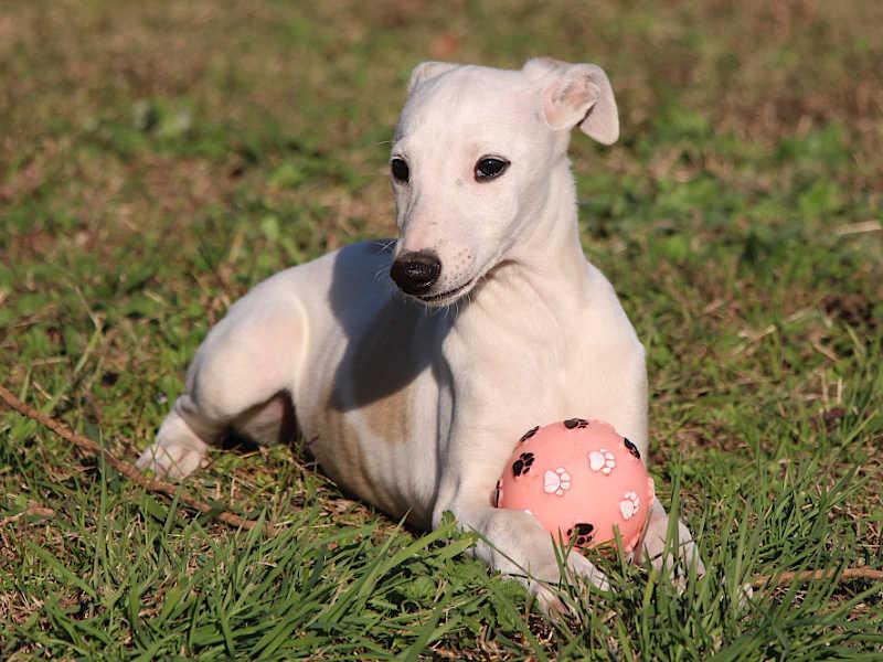 ウィペット子犬販売、男の子(牡、Male)、ホワイト&ホーン、2019年9月11日産まれ、千葉県ブリーダー、フセ、ボール遊び、ID11706