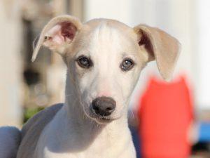 ウィペット子犬販売、男の子(牡、Male)、ホワイト&ホーン、2019年9月11日産まれ、千葉県ブリーダー、お顔、ID11707