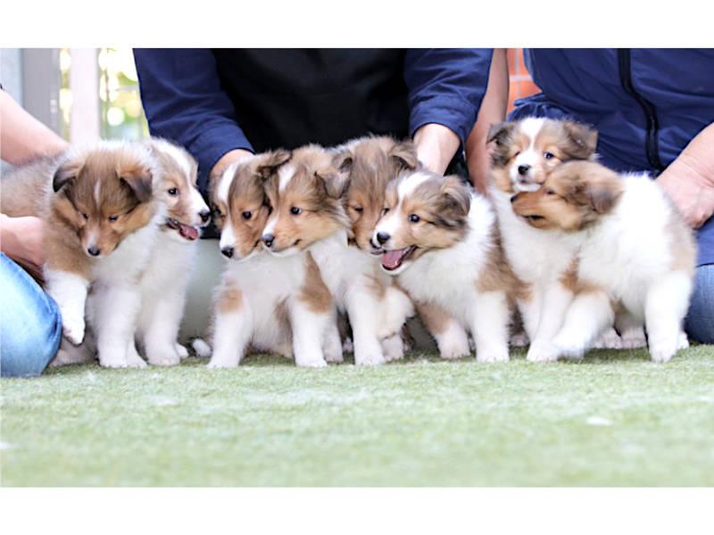 シェットランドシープドッグ(シェルティー)子犬販売、男の子、2020年06月13日産まれ、神奈川県ブリーダー、ID11884
