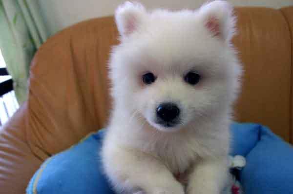 日本スピッツ子犬販売情報、純白(ホワイト)、男の子(オス)、栃木県ブリーダー、2012年08月18日産まれ、ID121010027252