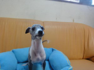 イタリアングレーハウンド子犬販売情報、男の子(オス)、ブルー&ホワイト、2012年09月26日生れ、栃木県ブリーダー、ID121210906048
