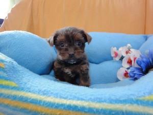 ヨークシャー・テリア(ヨーキー)、スチールブルー&タン、メス、栃木県ブリーダー子犬販売、ID2012/07/15-001