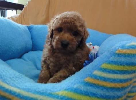 トイ・プードル、レッド、メス、栃木県ブリーダー子犬販売、2012/07/17-002