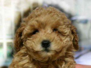 トイ・プードル、クリーム系アプリコット、メス、小さいサイズ、神奈川県ブリーダー子犬販売、2012/10/28-001