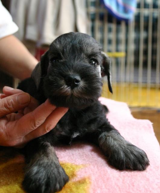 ミニチュアシュナウザー子犬販売、ソルト&ペッパー、男の子(オス)、2013年01月30日産まれ、神奈川県ブリーダー、ID20130130002