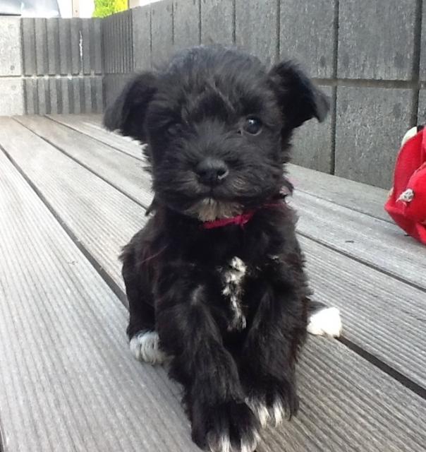 ミニチュアシュナウザー子犬販売、女の子(メス)、ブラック、2013年02月21日産まれ、静岡県ブリーダー、ID20130221001