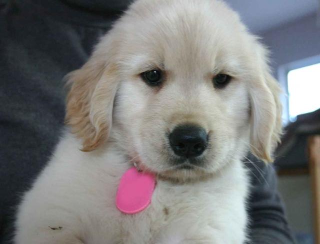 ゴールデンレトリーバー子犬販売、ゴールド、男の子(オス)、2012年09月22日生れ、茨城県ブリーダー、ID121104050425