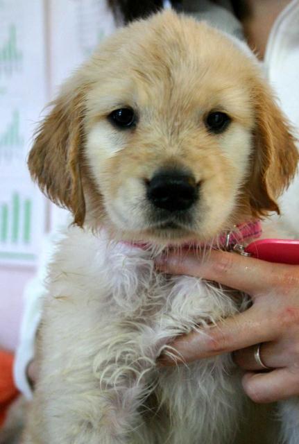 ゴールデンレトリーバー(レトリバー)子犬販売情報、女の子(メス)、ゴールド、2012年09月22日生れ、茨城県ブリーダー、ID121104791067