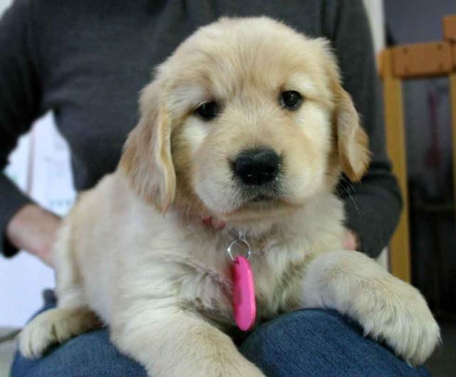 ゴールデンレトリーバー子犬販売、ゴールド、メス、2012年10月04日産まれ、茨城県ブリーダー、ID121104791452