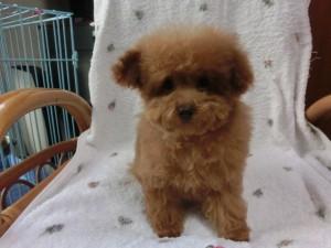 トイ・プードル、レッドに近いアプリコット、メス、茨城県ブリーダー子犬販売、20121228-004