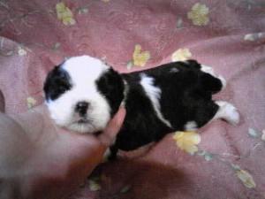 シーズー子犬販売、女の子(メス)、ブラック&ホワイト、2013年5月10日産まれ、東京都ブリーダー、ID20130510-001