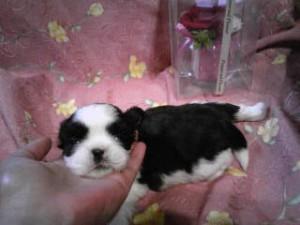 シーズー子犬販売、女の子(メス)、ブラウン&ホワイト、2013年5月10日産まれ、東京都ブリーダー、ID20130510-003