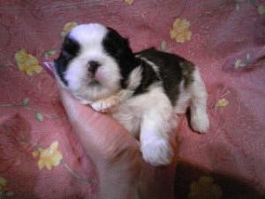 シーズー子犬販売、女の子(メス)、ゴールド&ホワイト、2013年5月10日産まれ、東京都ブリーダー、ID20130510-004