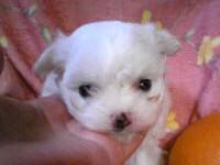 マルチーズ子犬販売、ホワイト、女の子(メス)、2013年04月27日産まれ、東京都ブリーダー、ID20130427-003