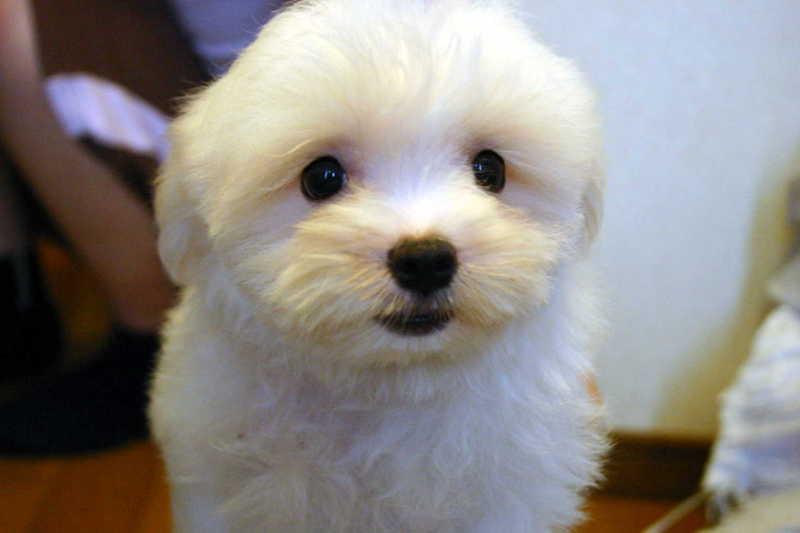 マルチーズ子犬販売、ホワイト、男の子(オス)、2013年4月27日産まれ、東京都ブリーダー、ID20130427-001
