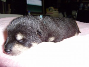 柴犬子犬販売、黒毛(黒柴)、男の子(オス)、2013年10月27日産まれ、大阪府ブリーダー、ID4807