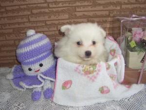 日本スピッツ子犬販売、北海道ブリーダー、ID20131201001