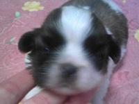 ミックス犬(父:ペキニーズ、母:シーズー)子犬販売、女の子(メス)、ホワイト&ゴールド、2014年02月19日産まれ、東京都ブリーダー、ID5977