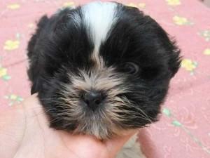 シーズー子犬販売、男の子(オス)、ブラック&ホワイト、2014年01月26日産まれ、東京都ブリーダー、ID5696