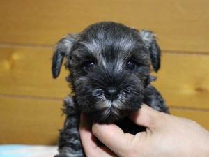 ミニチュアシュナウザー子犬販売、女の子(メス)、ソルト&ペッパー、2014年04月06日産まれ、神奈川県ブリーダー、ID6378