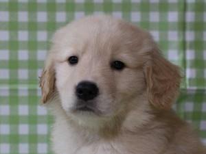 ゴールデンレトリーバー(レトリバー)千葉県ブリーダー子犬販売情報、20140331産まれ、ゴールド、男の子(オス)、ID6415