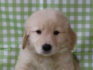 ゴールデンレトリーバー(レトリバー)千葉県ブリーダー子犬販売情報、20140331産まれ、ゴールド、男の子(オス)、ID6417