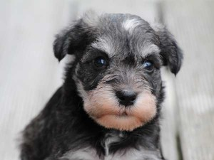 ミニチュアシュナウザー子犬販売、ソルト&ペッパー、男の子(オス)、2014年05月27日産まれ、静岡県ブリーダー、ID6771