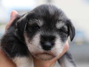 ミニチュアシュナウザー子犬販売、、男の子(オス)、ソルト&ペッパー、2014年06月09日産まれ、静岡県ブリーダー、ID6774