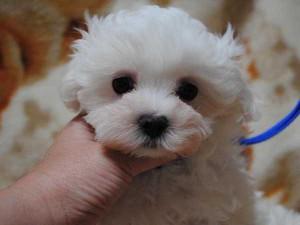 マルチーズ子犬販売、ホワイト、女の子(メス)、2014年03月03日産まれ、東京都ブリーダー、ID6805