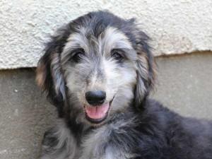 アフガン・ハウンド子犬、ブルーブリンドルドミノ、女の子(メス)、20140428産まれ。ID6896