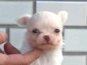 チワワロングコート子犬販売、パーティーカラー(ホワイト&クリーム)、男の子(オス)、2014年10月6日産まれ、東京都ブリーダー、ID7645