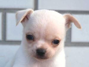 チワワスムースコート子犬販売、パーティーカラー(ホワイト&クリーム)、男の子(オス)、2014年10月6日産まれ、東京都ブリーダー、ID7646