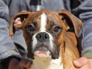 ボクサー子犬販売情報、千葉県ブリーダー、男の子(オス)、ブリンドル、2014年6月27日生れ、ID8241